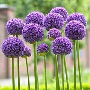 Lot of 5 Large Allium Gladiator Flower Bulbs